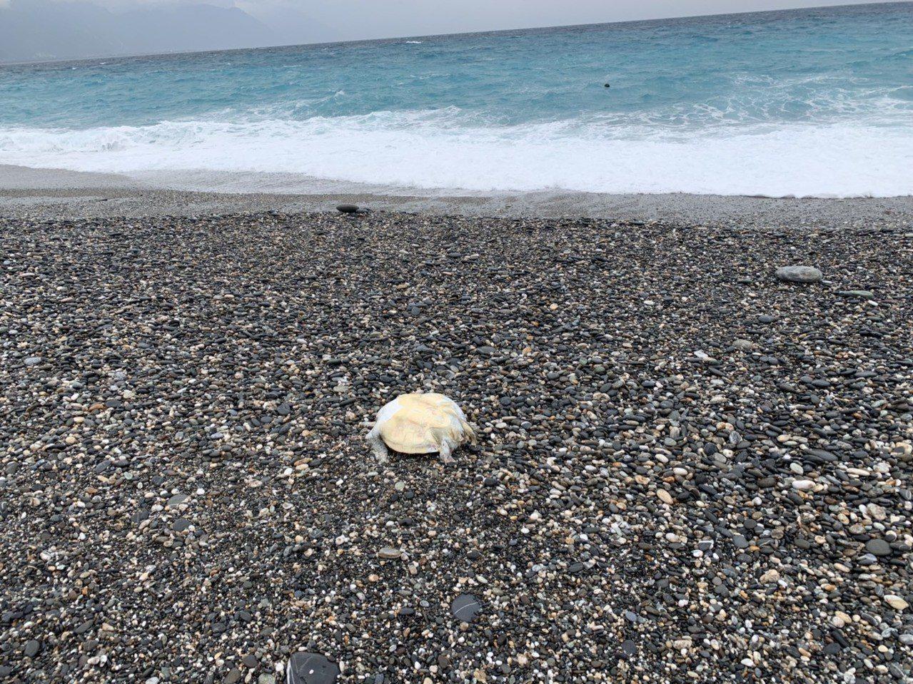 花蓮七星潭海域又見海龜屍體。記者余衡/翻攝
