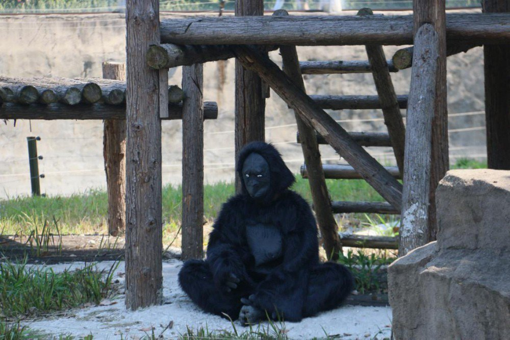 大陸一名家長帶孩子去動物園,不料卻看到兩隻「人造猩猩」,讓他非常火大。圖片來源/...