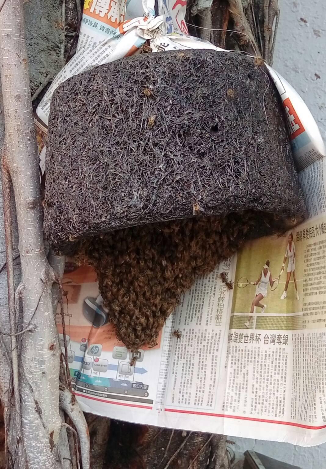 專業蜂農利用人工蜂巢,將躲在樹洞中的野蜂煙燻引入蜂巢。記者黃宣翰/翻攝