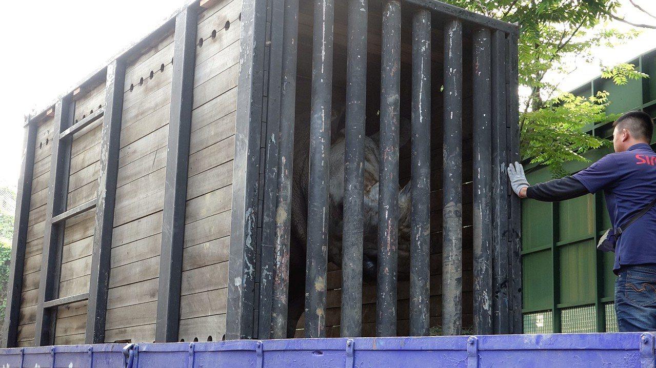 為了強化保種繁殖及動物福祉,台北市立動物園的白犀牛「犀奇」上周順利搬到高雄壽山動...