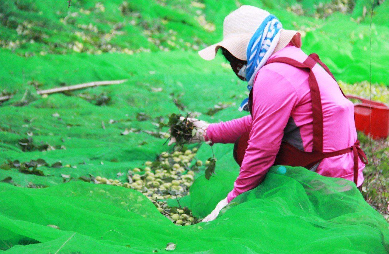 受暖冬影響,台東縣梅子減產,縣府將爭取中央天然災害救助及低利貸款為梅農紓困。聯合...