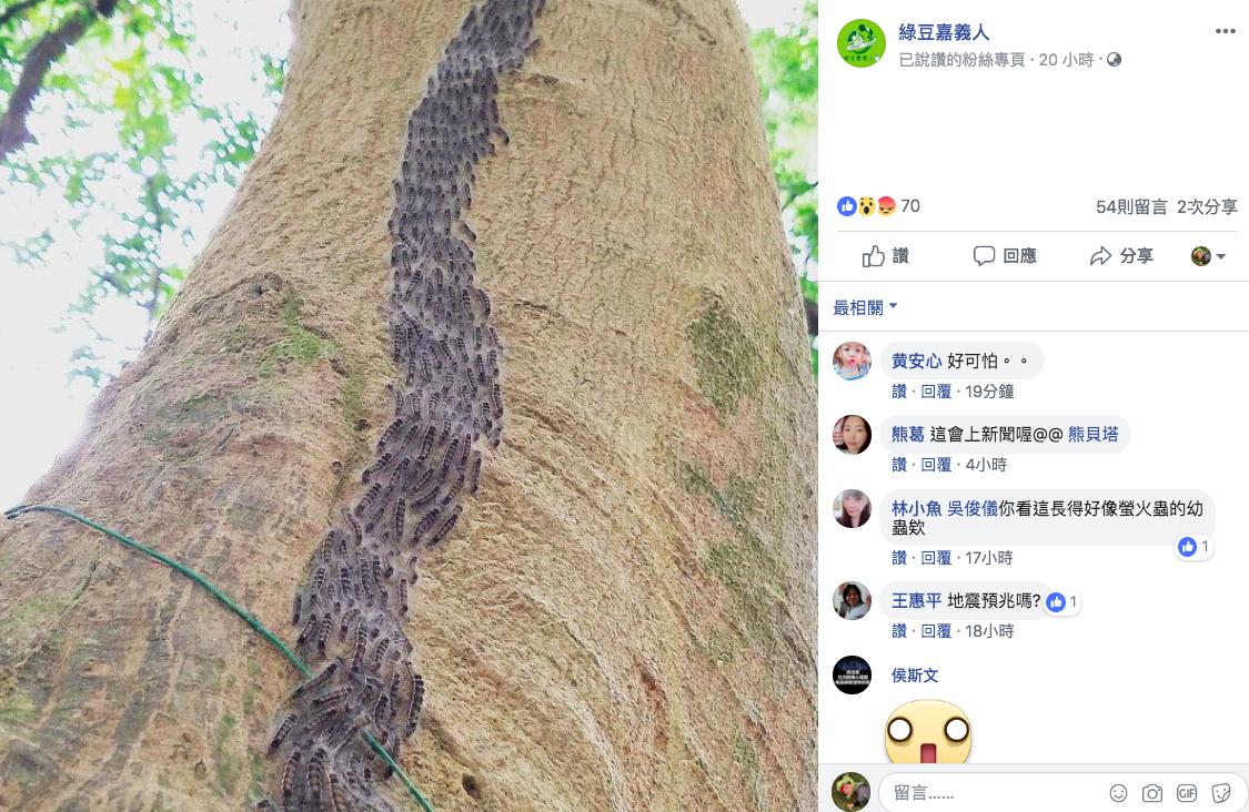 網友在綠豆嘉義人粉絲團,發出毛毛蟲蜂擁而上的畫面。圖/取自綠豆嘉義人粉絲團