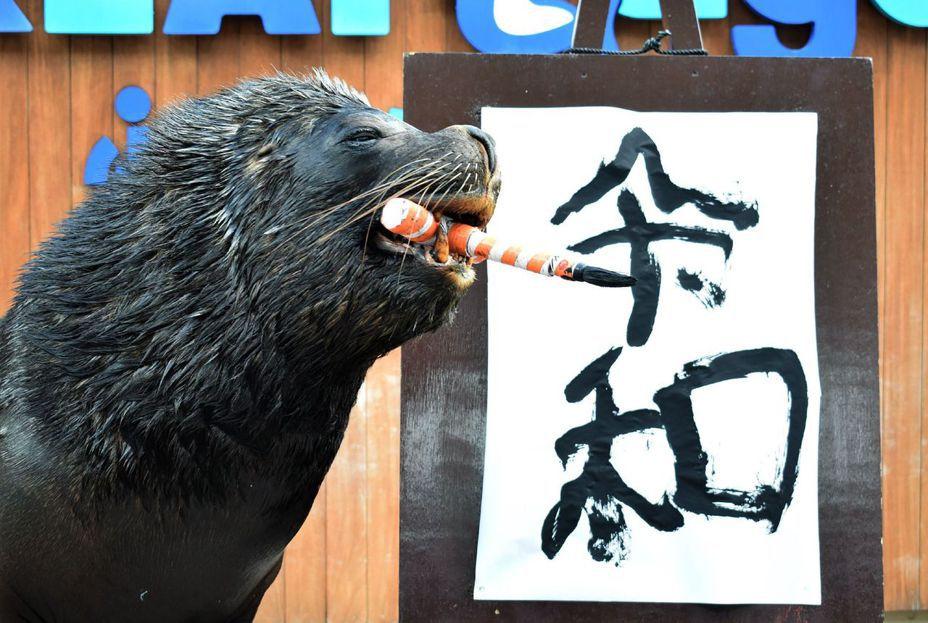 日本橫濱八景島海島樂園的海獅「李奧(Leo)」一日用嘴咬著毛筆,寫下日本下月將使用的新年號「令和」。(法新社)