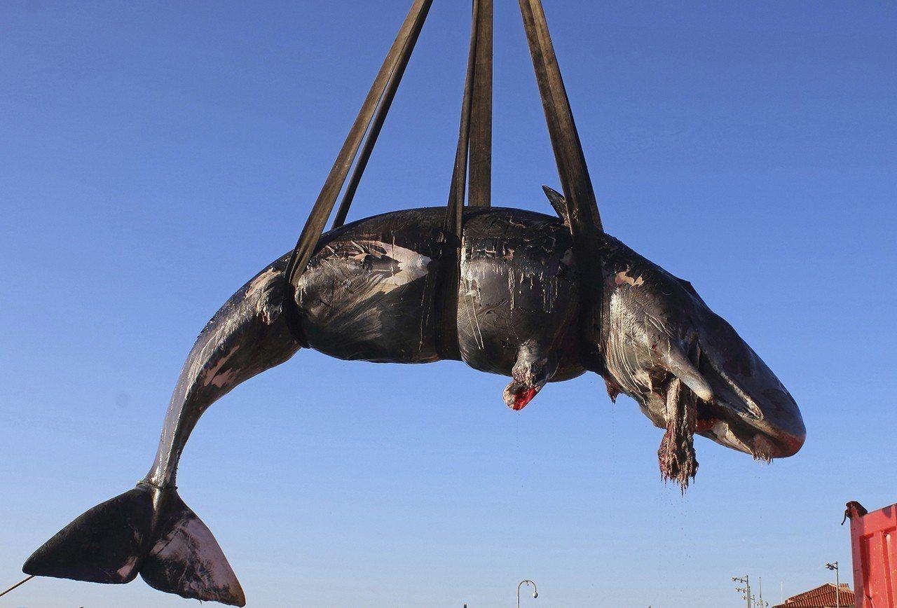 一頭8公尺長的懷孕抹香鯨被發現死在義大利薩丁尼亞島岸邊,腹中有22公斤重的塑膠物...