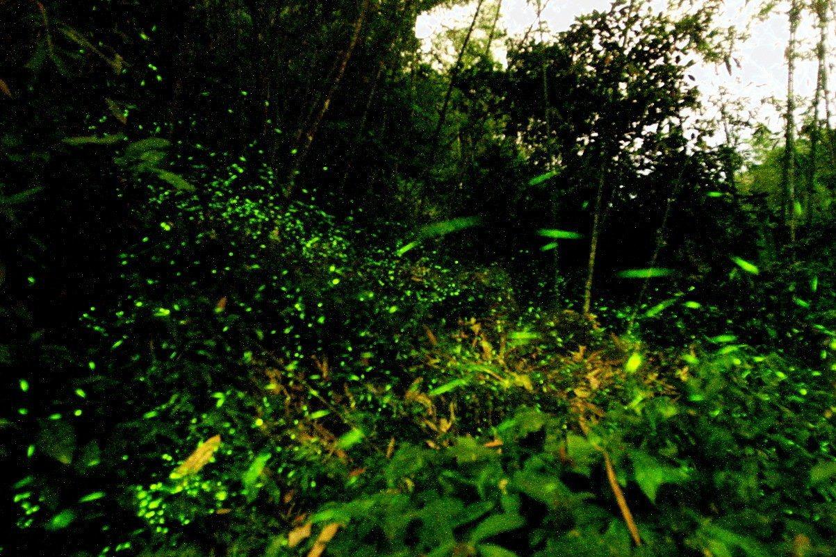 每年四、五月是賞螢最佳季節,也是山區生態最多樣性的時節,雲林縣古坑鄉華山地區生態...