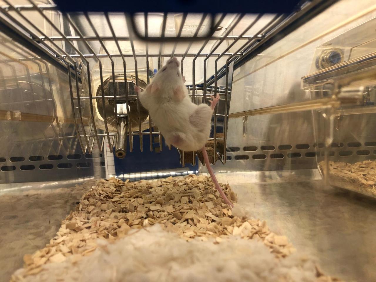 結直腸癌腫瘤移植小鼠。圖/國研院提供