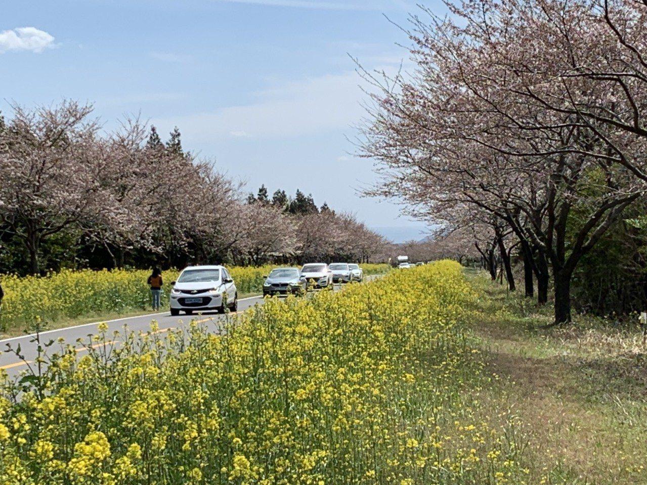濟州島鹿山路兩旁除了有整排的櫻花,更有大片油菜花,每年春天都吸引眾多旅客前往賞花...