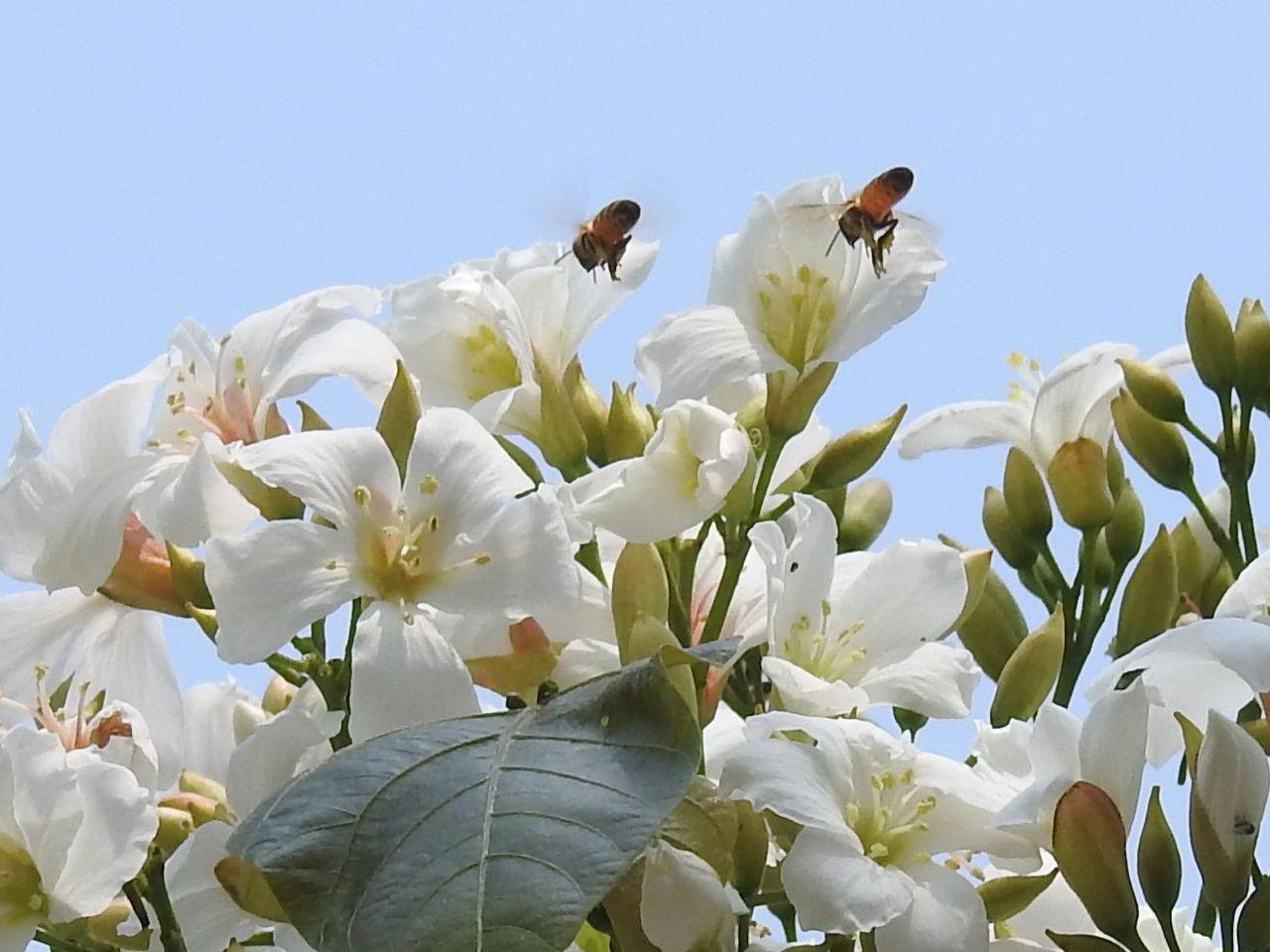 每年4、5月是油桐花盛放期,南投縣草屯鎮植物公園桐花大部分已有花苞,部分已零星開...