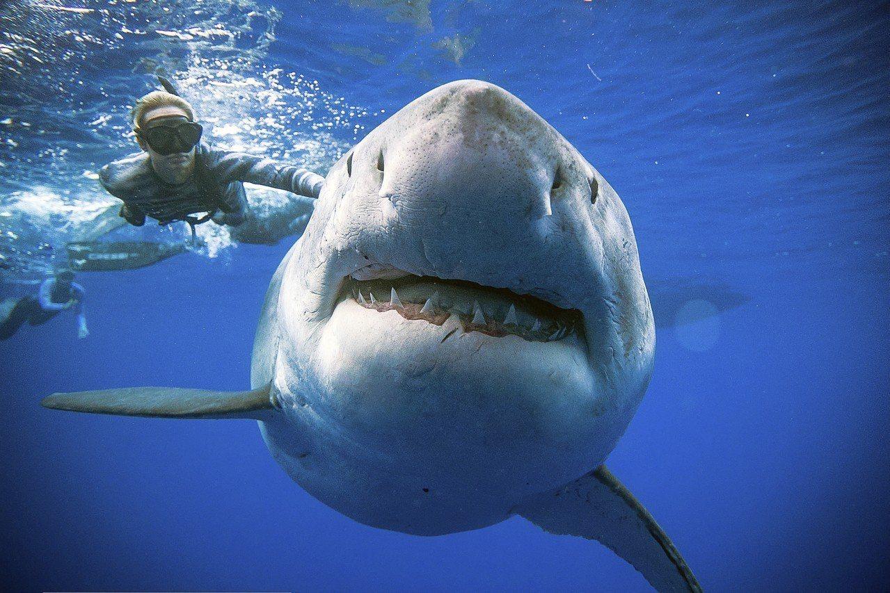 澳洲默多克大學研究團隊在南非的大白鯊魚鰭上裝設攝影機,拍下以鯊魚視角獵捕海豹的罕...