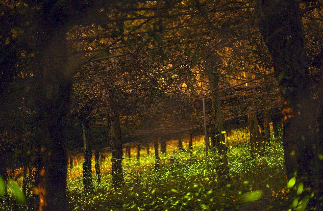 那瑪夏螢火蟲季展開,達卡努瓦部落率先出現大量螢火蟲。圖/張曉曉提供