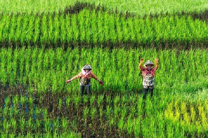 台南後壁的稻田讓遊客心曠神怡。圖/觀光旅遊局提供