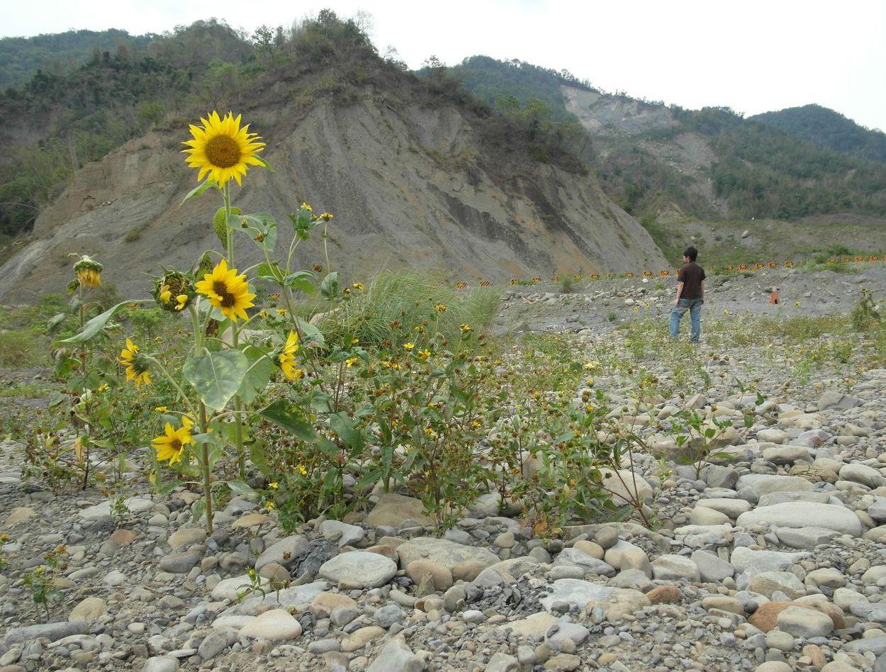 2011年5月,小林村遺址上向日葵綻放。 圖/聯合報系資料照片