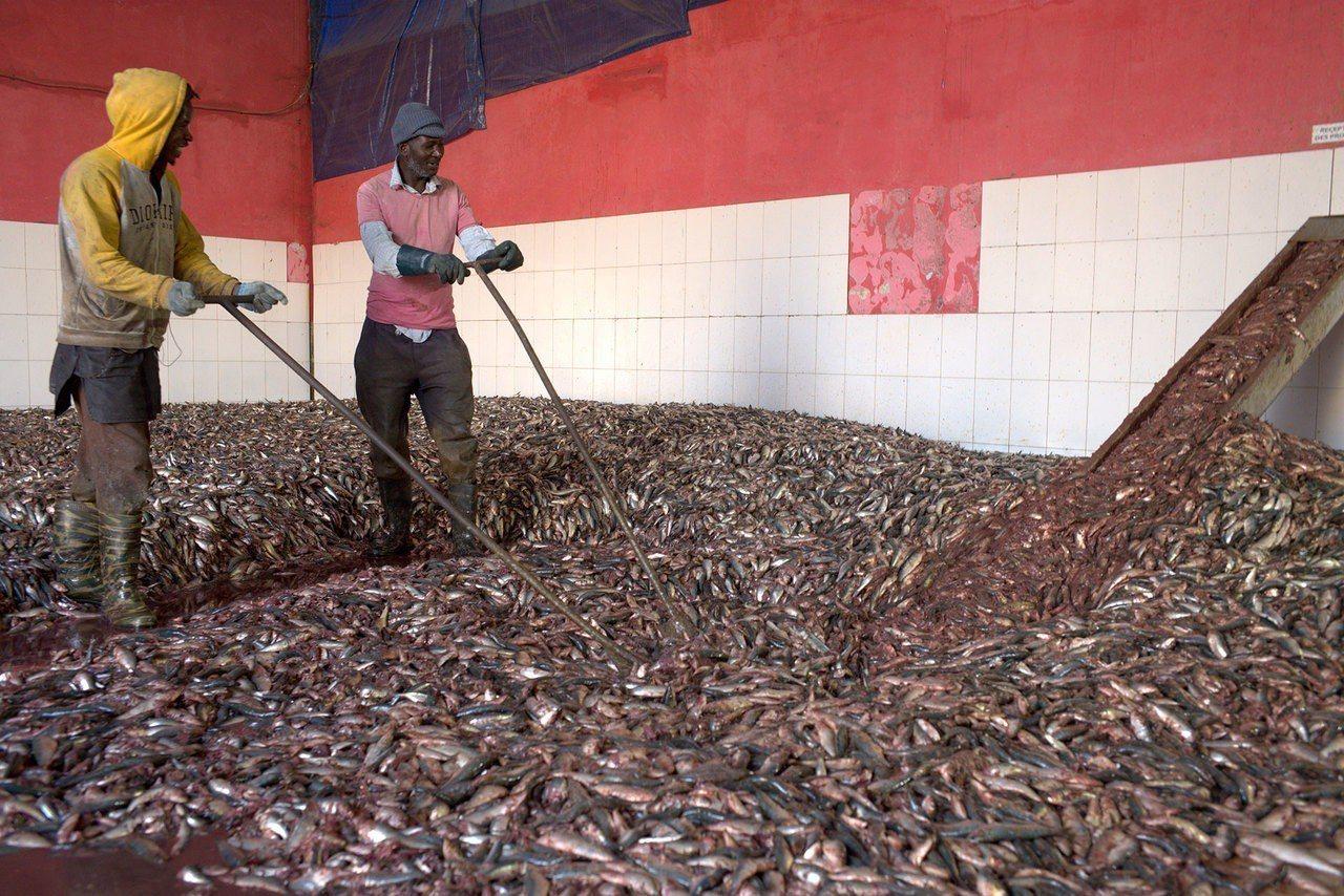 魚粉工廠內的工人。路透
