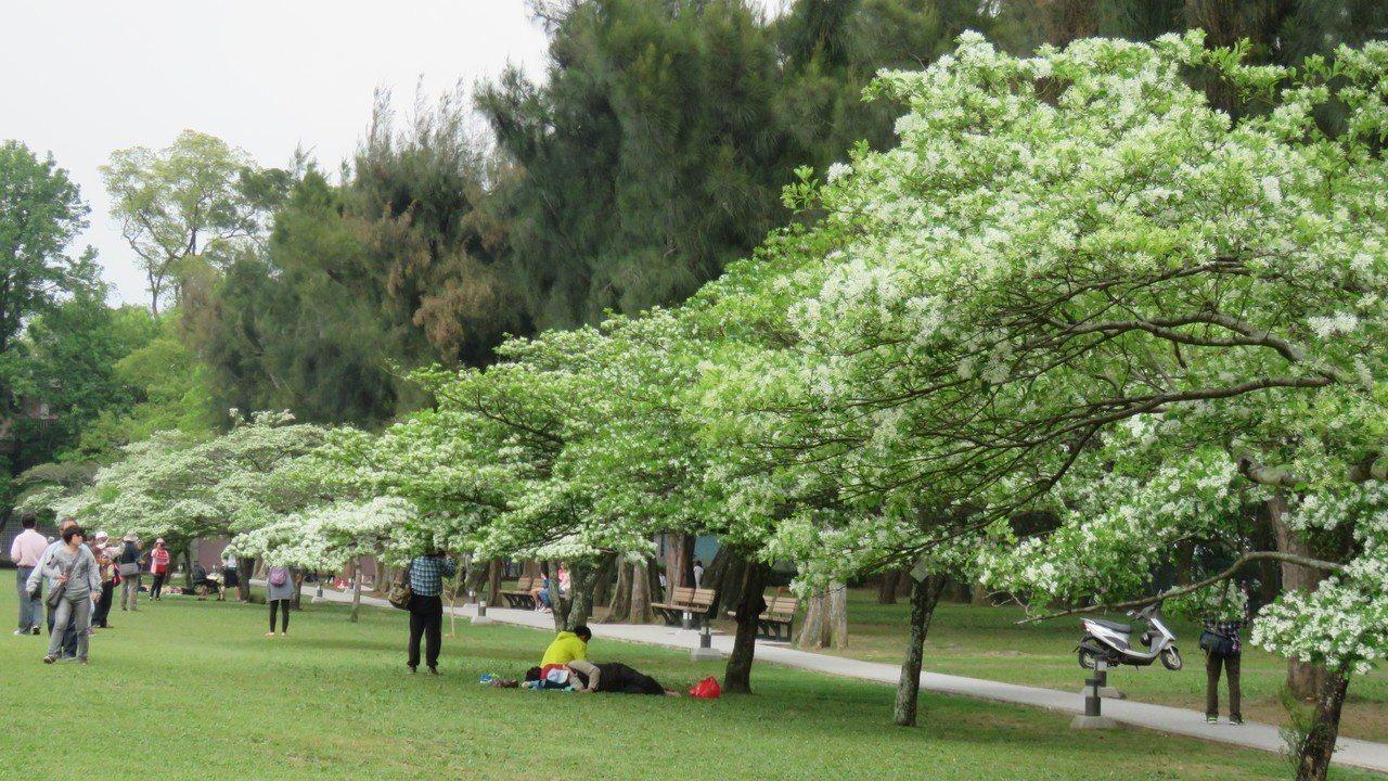 桃園市龍潭經濟部北區水資源局前大草坪,成排樹型優美的流蘇花盛開,景致優美壯觀。本...