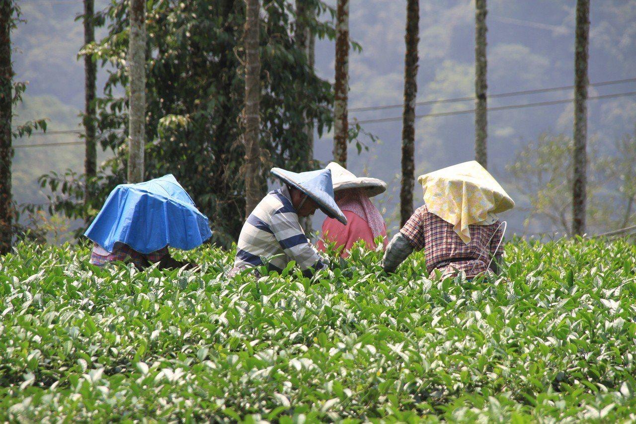 今年受氣候影響,阿里山春茶產量比往年約少2成。記者卜敏正/攝影