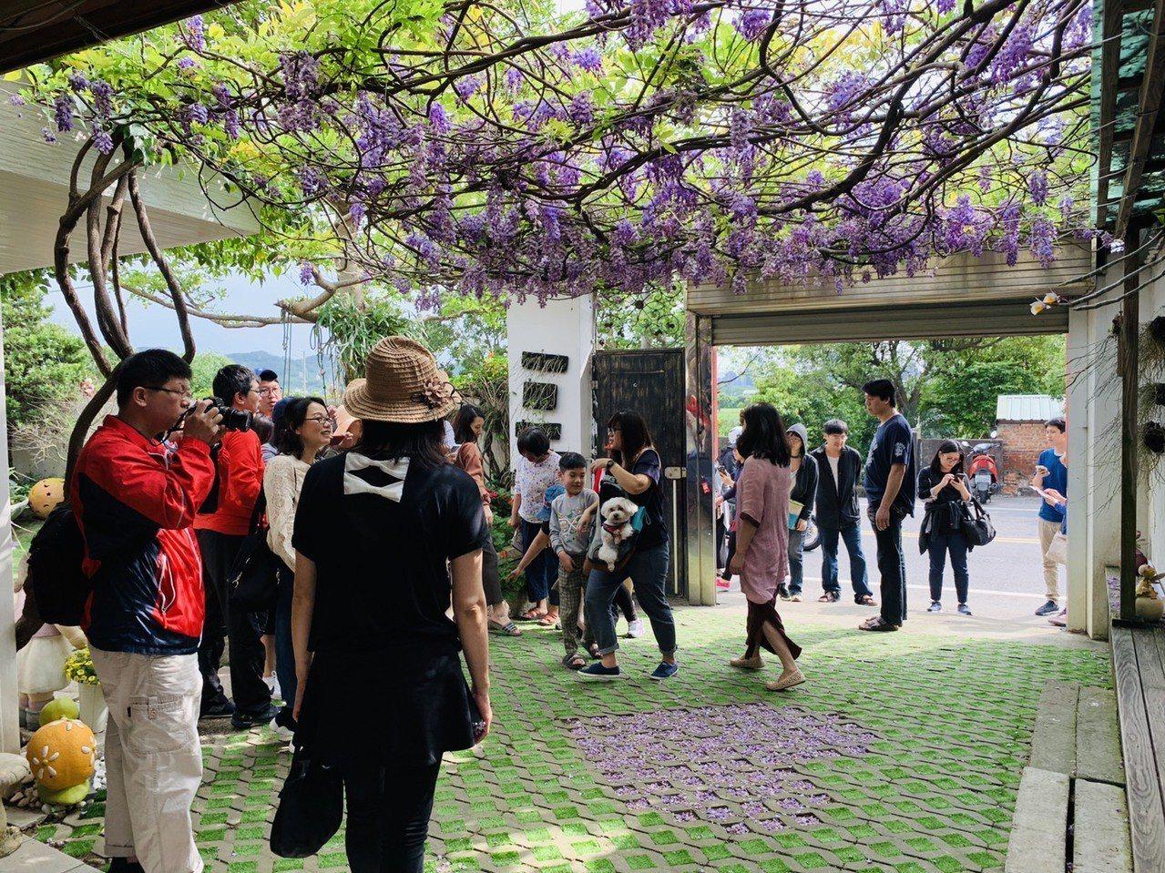 新竹縣新埔鎮一處民宅每年3、4月就會變成熱門賞花景點。記者陳斯穎/攝影