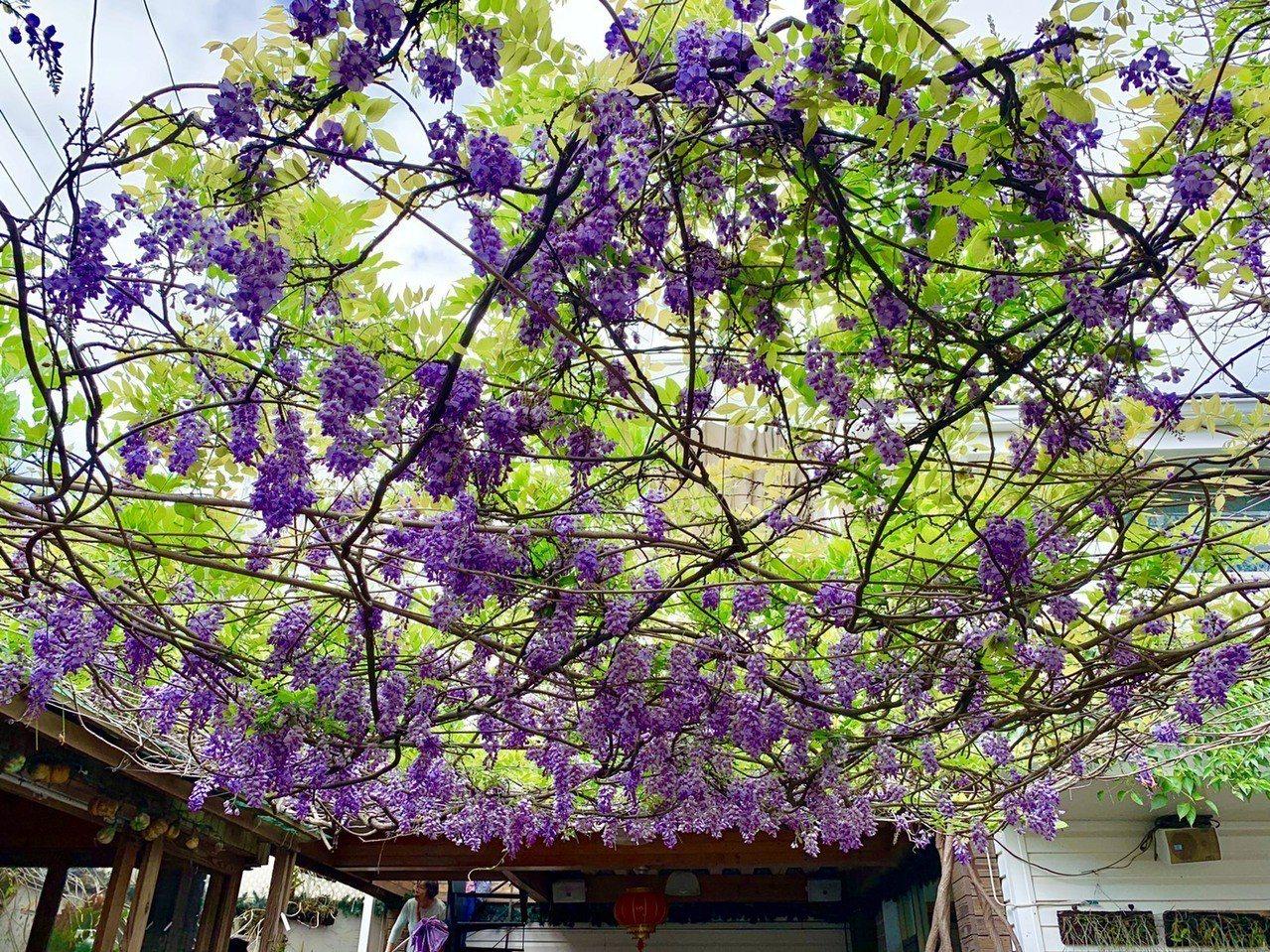 林姓夫婦在自家的院子棚架上栽植紫藤花,超過20年的老紫藤順著棚架蔓爬,一串串下垂...