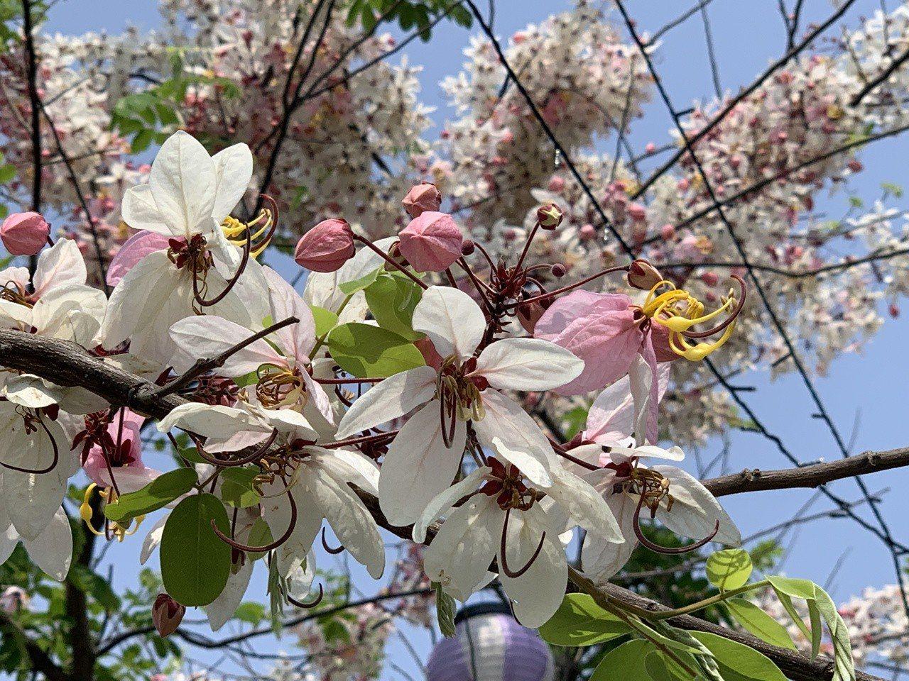 春暖花開,台南街頭花旗木怒放。記者吳淑玲/攝影