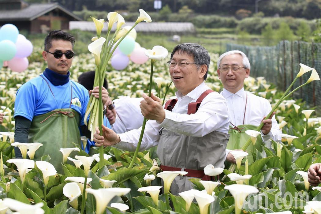 陽明山竹子湖海芋季日前開幕,活動至4月28日止。本報資料照片