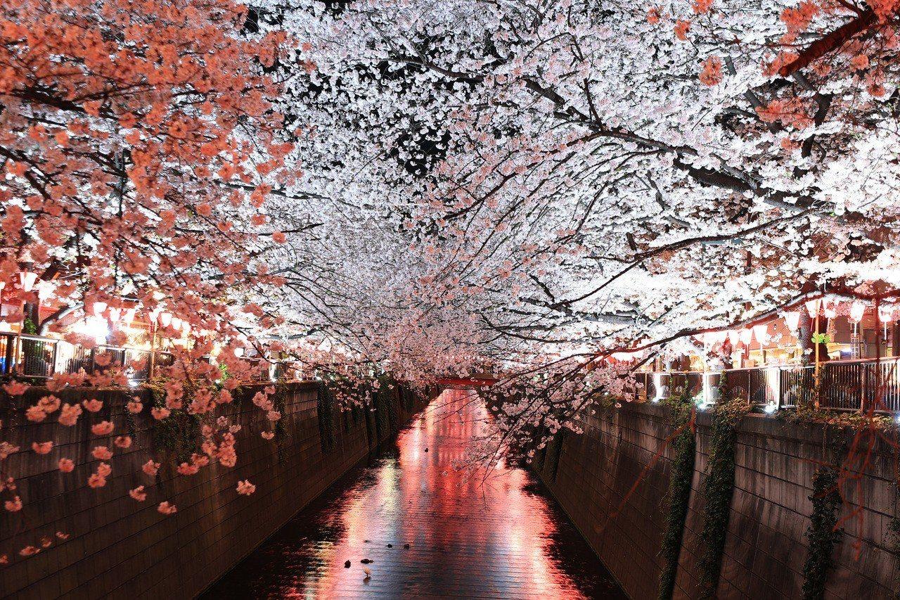 東京目黑川兩岸櫻花盛開。新華社