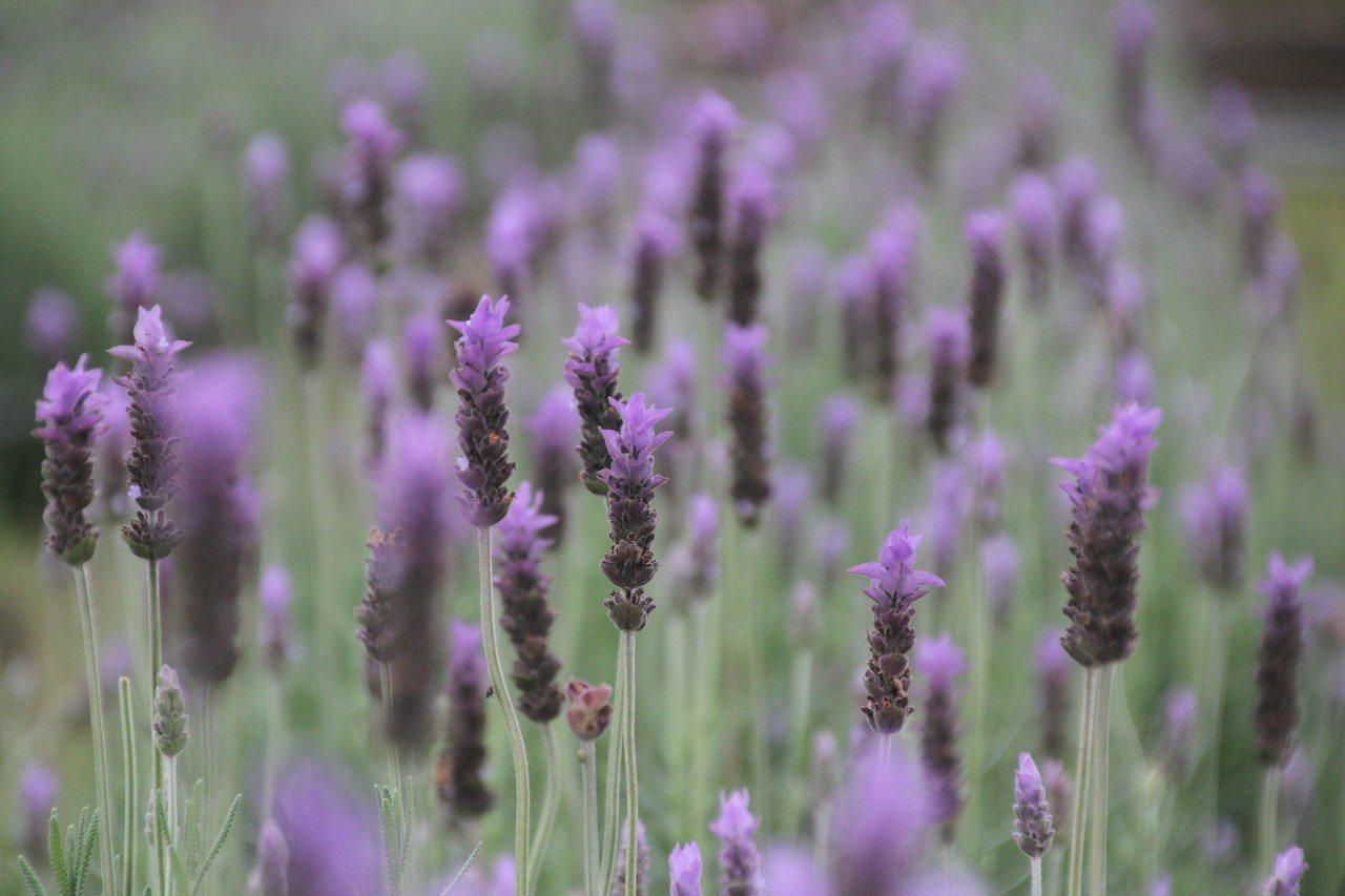 葛瑞絲香草田的薰衣草正盛開,7000坪的花田散放芬芳。記者胡蓬生/攝影