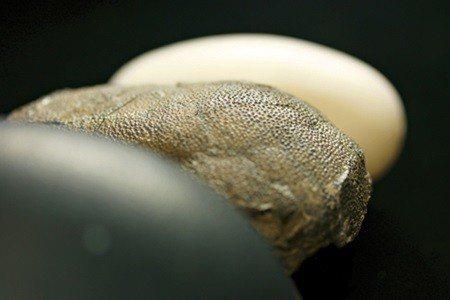 鴯鶓蛋(前),蜥臀目恐龍化石蛋(中),鱷魚蛋(後) (照片/美國國家地理學會提供...