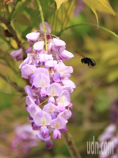 今年受氣候影響,瑞里紫藤花期不集中,目前「小公主咖啡」等景點紫藤花仍盛開。記者卜...