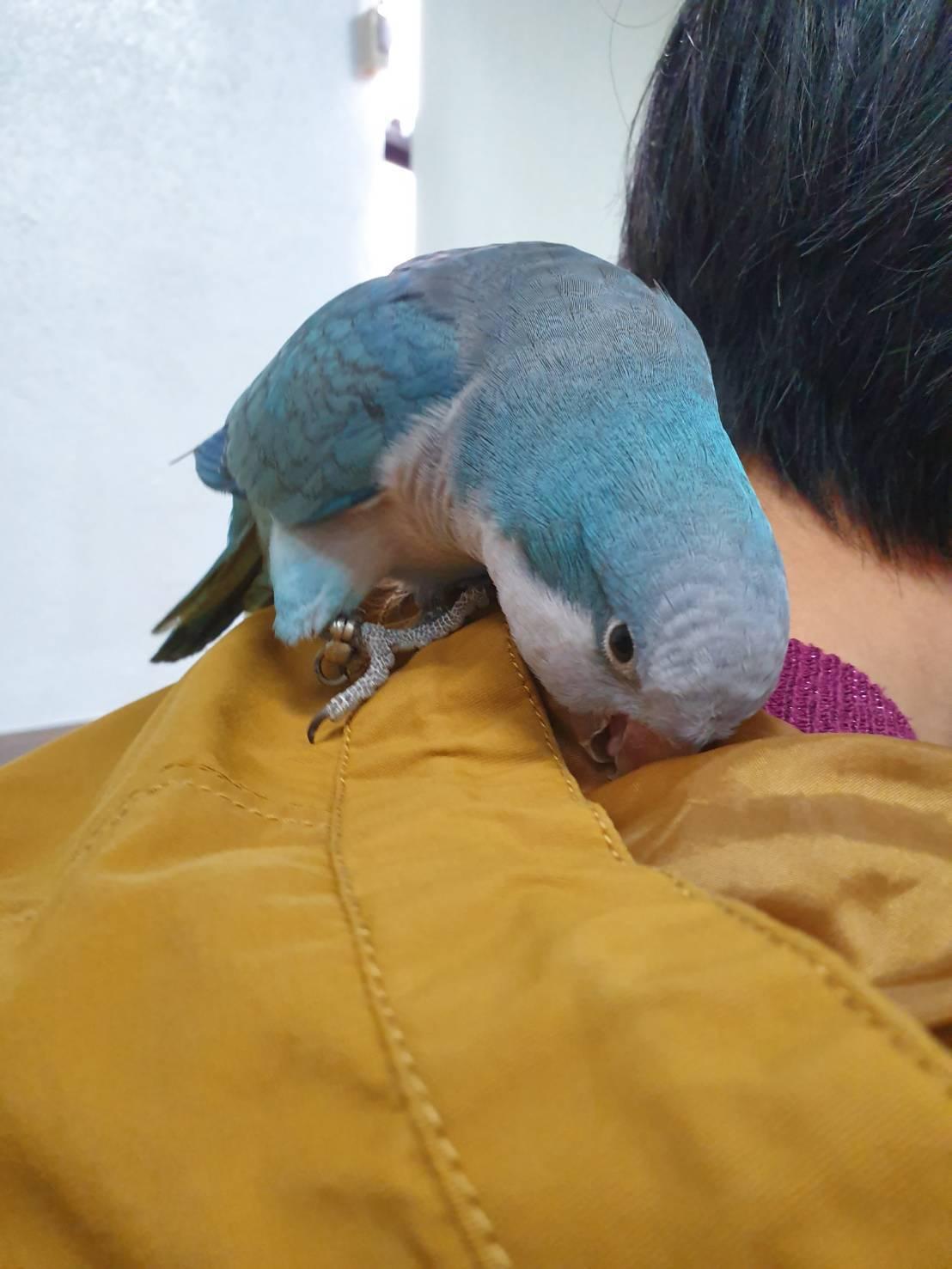 走失的藍色鸚鵡經員警和熱心民眾尋回,失主PO文感謝。圖/台南市警三分局提供