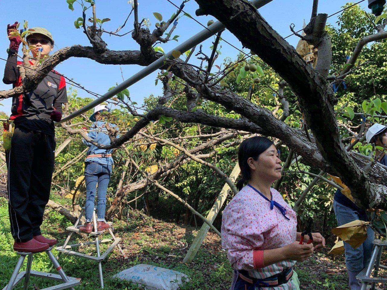 新加坡國立大學戲劇系學生跟石岡媽媽們一起到果園工作,了解媽媽們身體勞損的原因。 ...