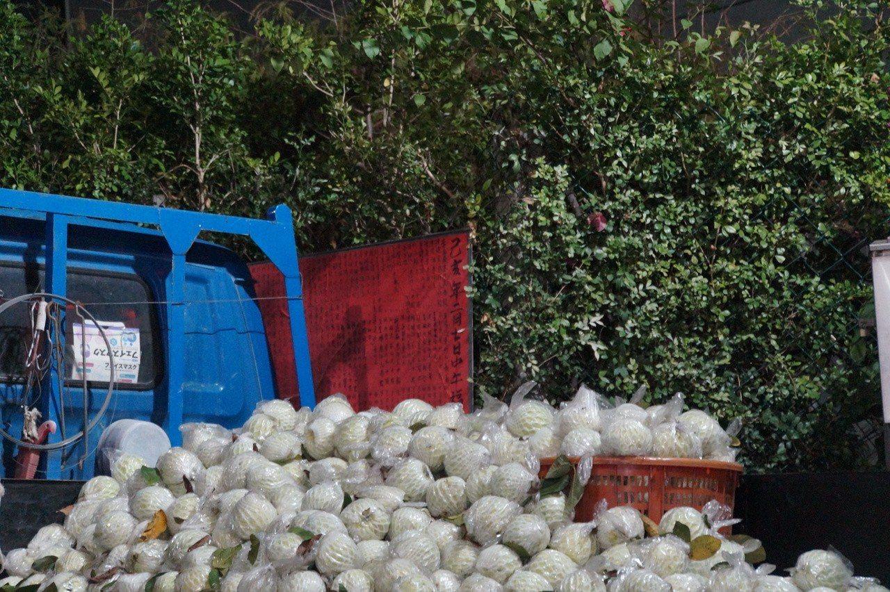 挺農民,顏純左採購2000斤芭樂,準備分送給下營廟會鄉親。圖/顏純左服務處提供