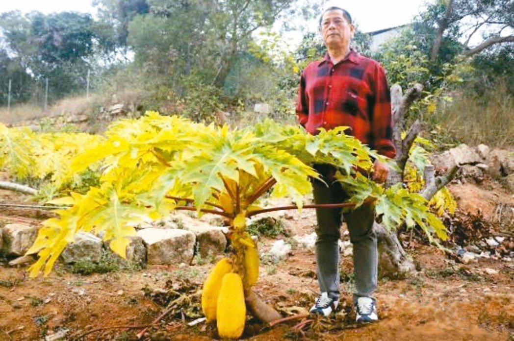 鄧泰章種出矮化的黃金木瓜苗木。 圖/中新網
