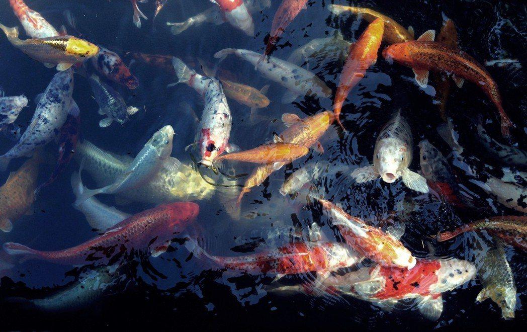 錦鯉的發源地新潟獨自發展出配種的技術,當地還組成「品評會」,每年舉辦比賽,將錦鯉...