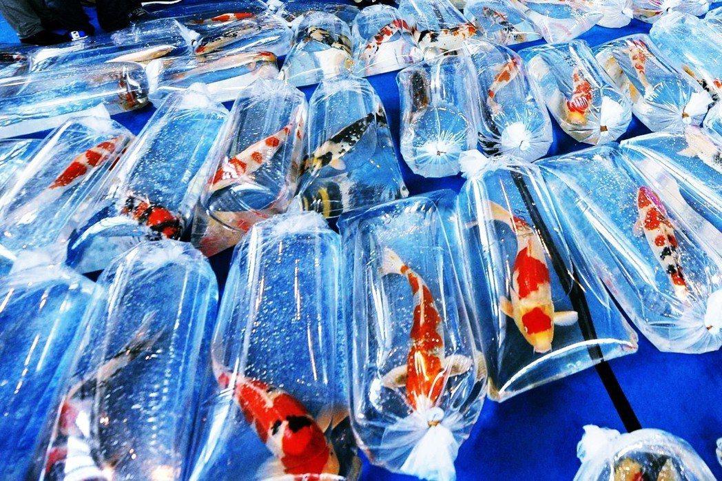 現今錦鯉的輸出,由於技術進步,變得相當容易——使用新型塑膠袋,打入足量氧氣,再放...