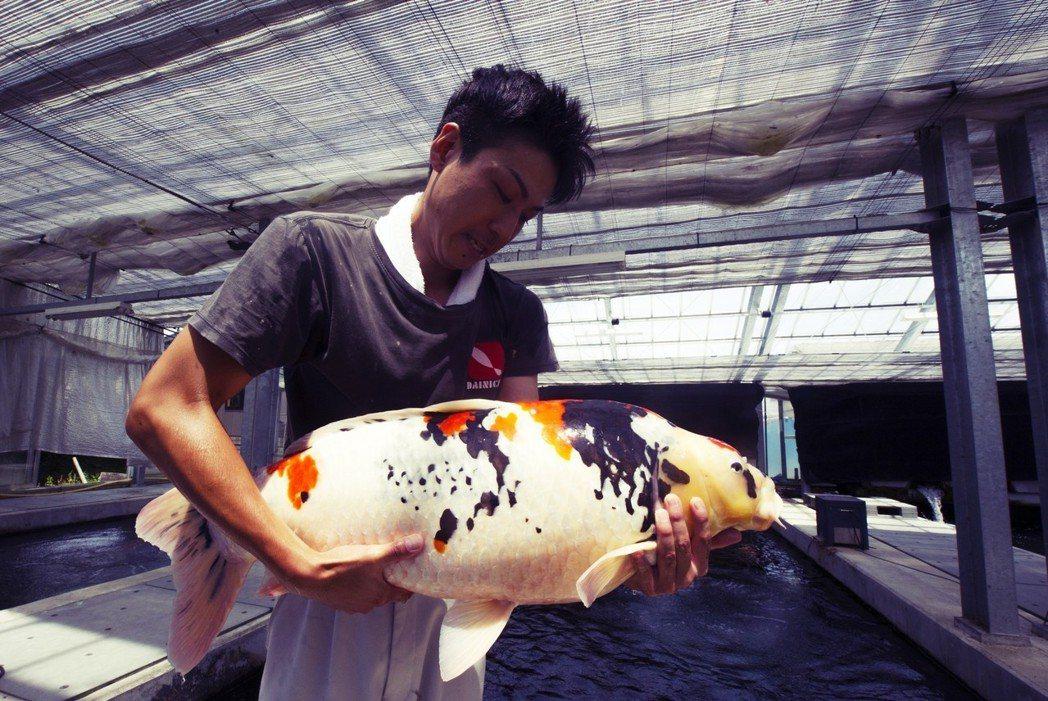 就業者的角度來說,如果鯉魚戰略特區短時間內無法成形,難以擴大日本的高價錦鯉養殖規...