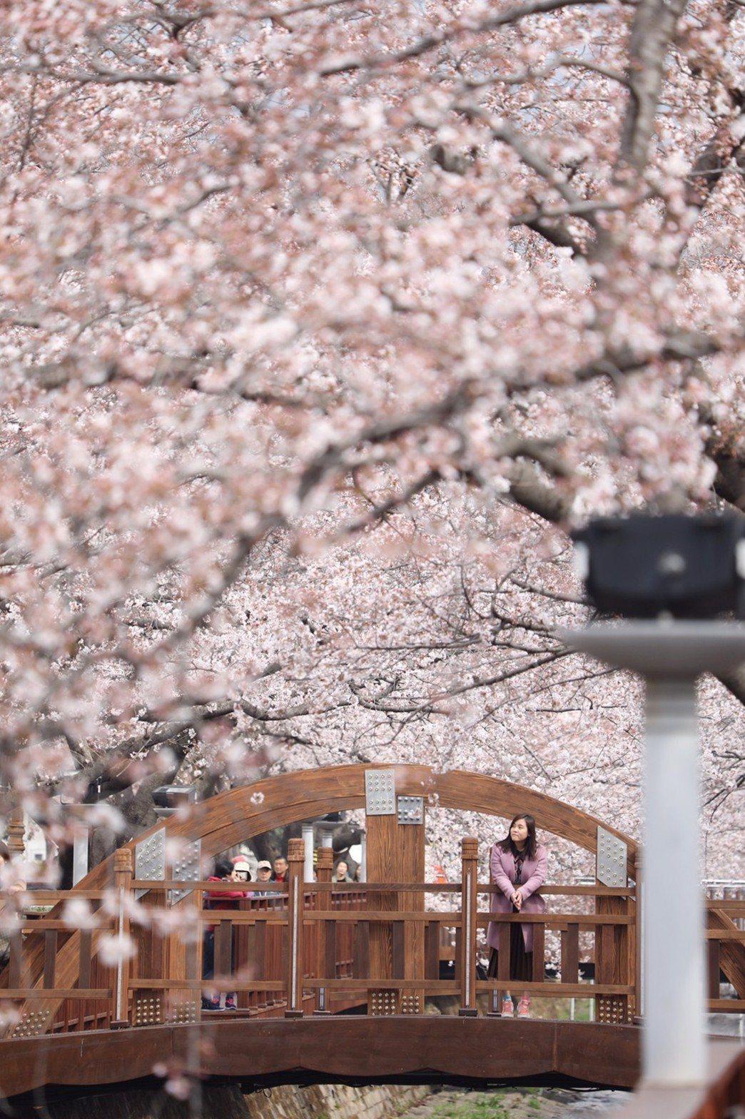 在余佐川的「羅曼史之橋」拍下賞櫻美照。記者吳致碩/攝影