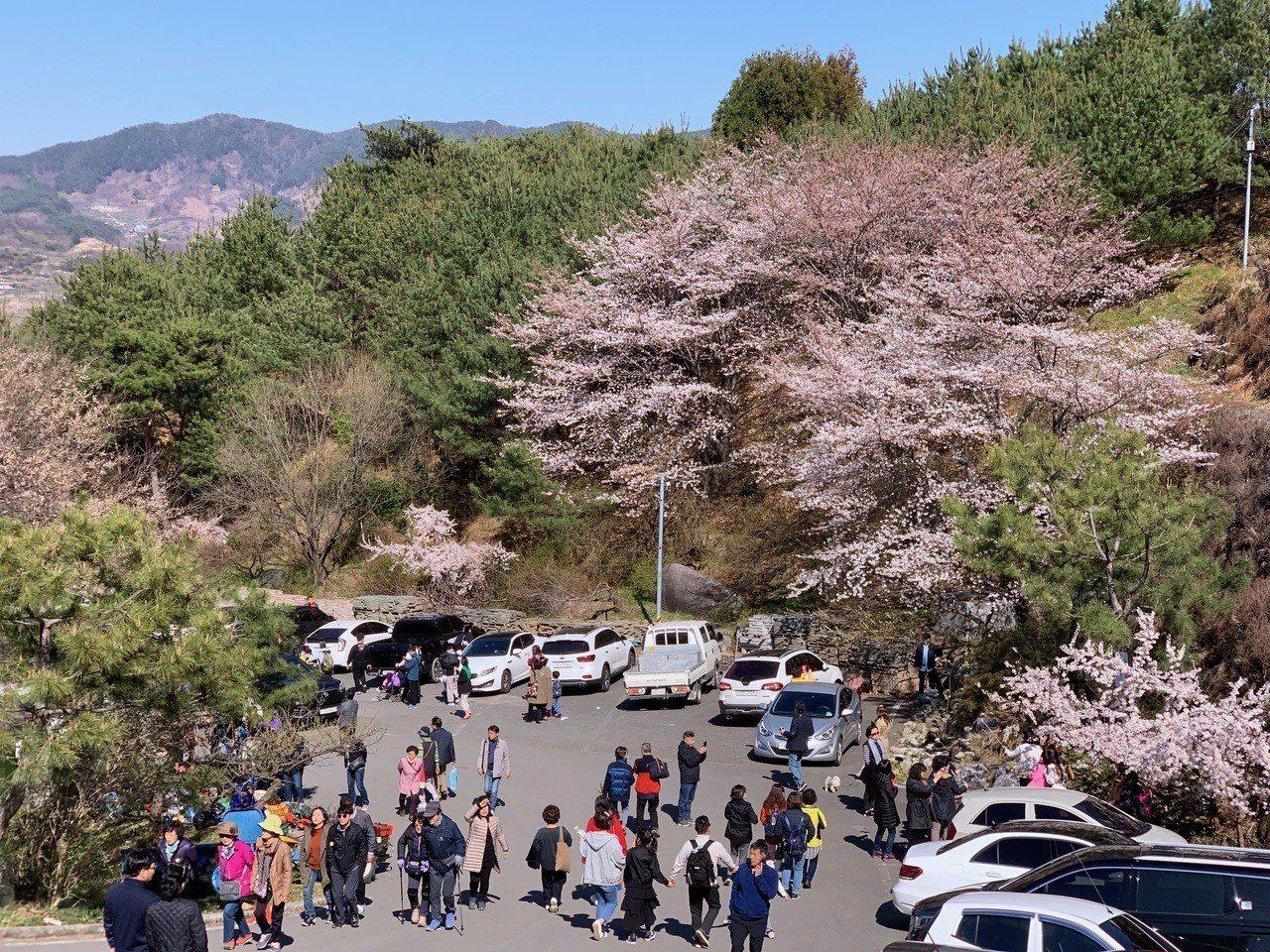 韓國春櫻正盛,4月是賞櫻的好時機。記者張芳瑜/攝影