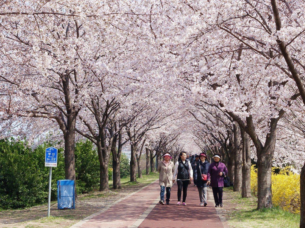 三樂生態公園有看不到盡頭的櫻花隧道。記者張芳瑜/攝影