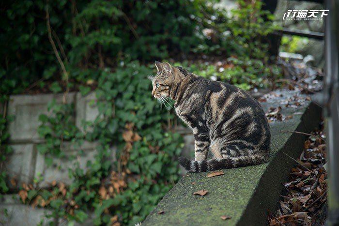 ▲居高臨下的王者姿態,虎視眈眈望著獵物,在在顯示夏目漱石筆中的「我、是、貓」。