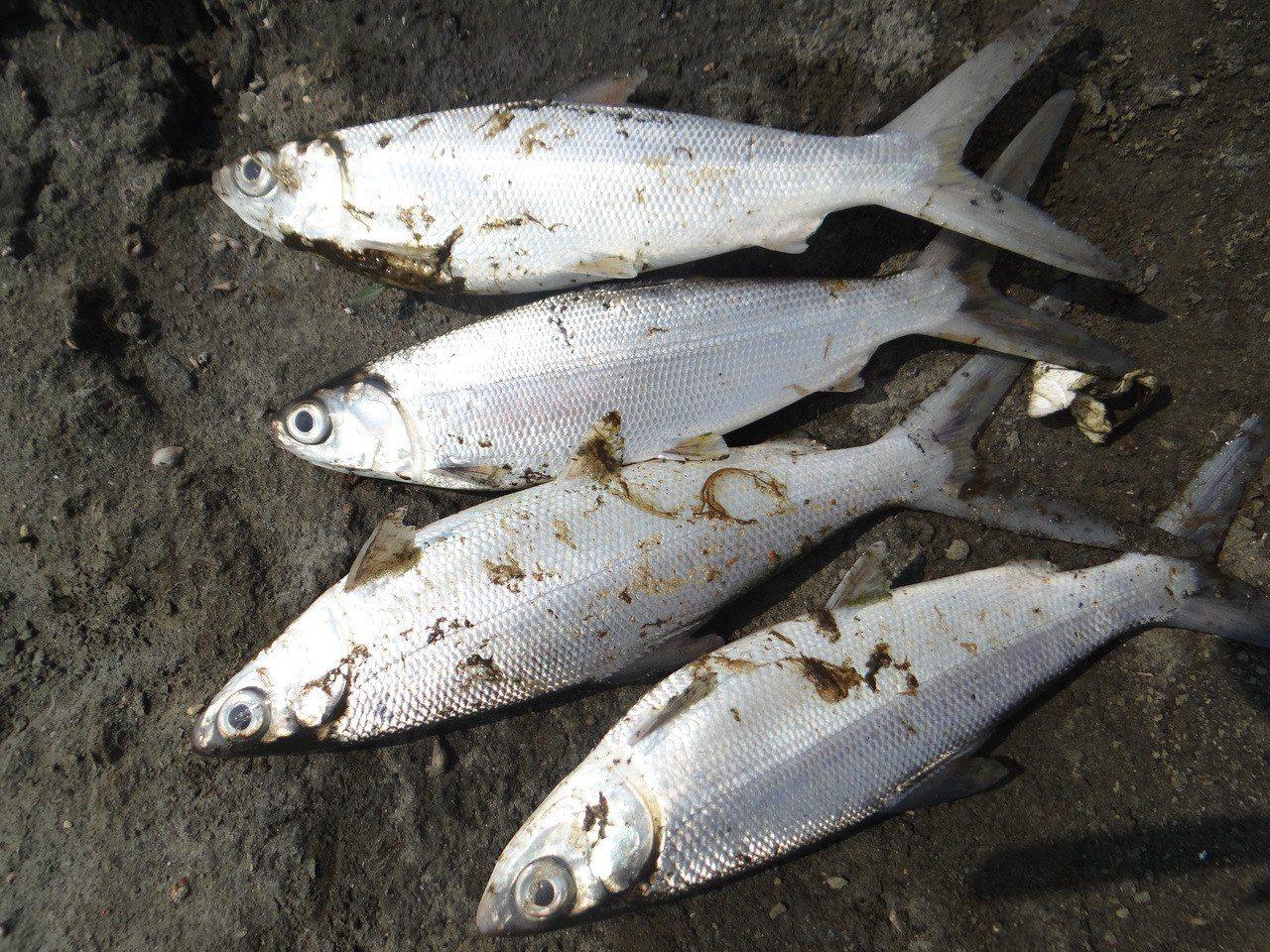 養殖業者說,死魚身上都可見油漬。記者蔡維斌/攝影