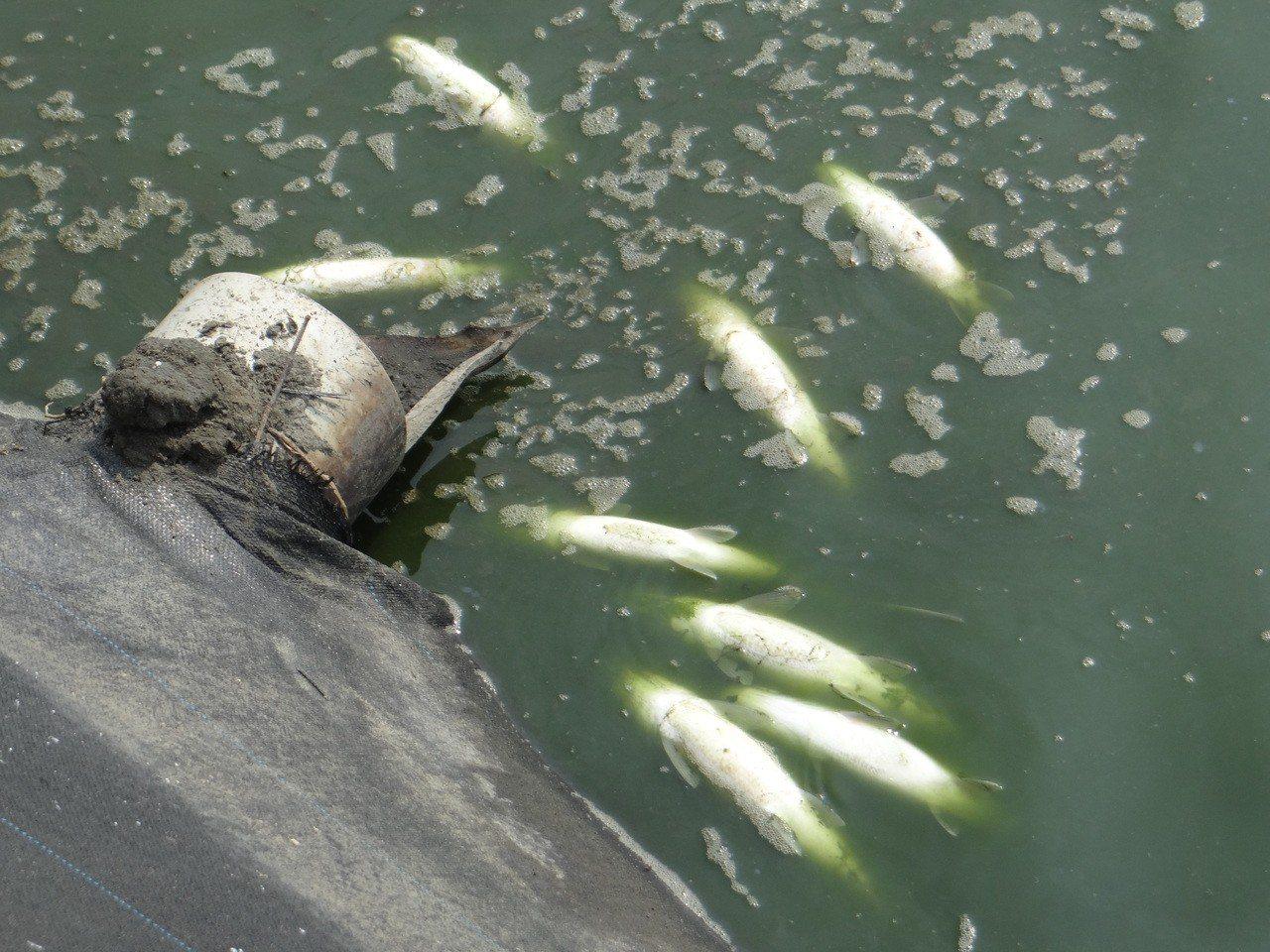 六輕氣爆造成鄰近魚塭不少養殖魚被嚇死,今早陸續浮出水面。記者蔡維斌/攝影