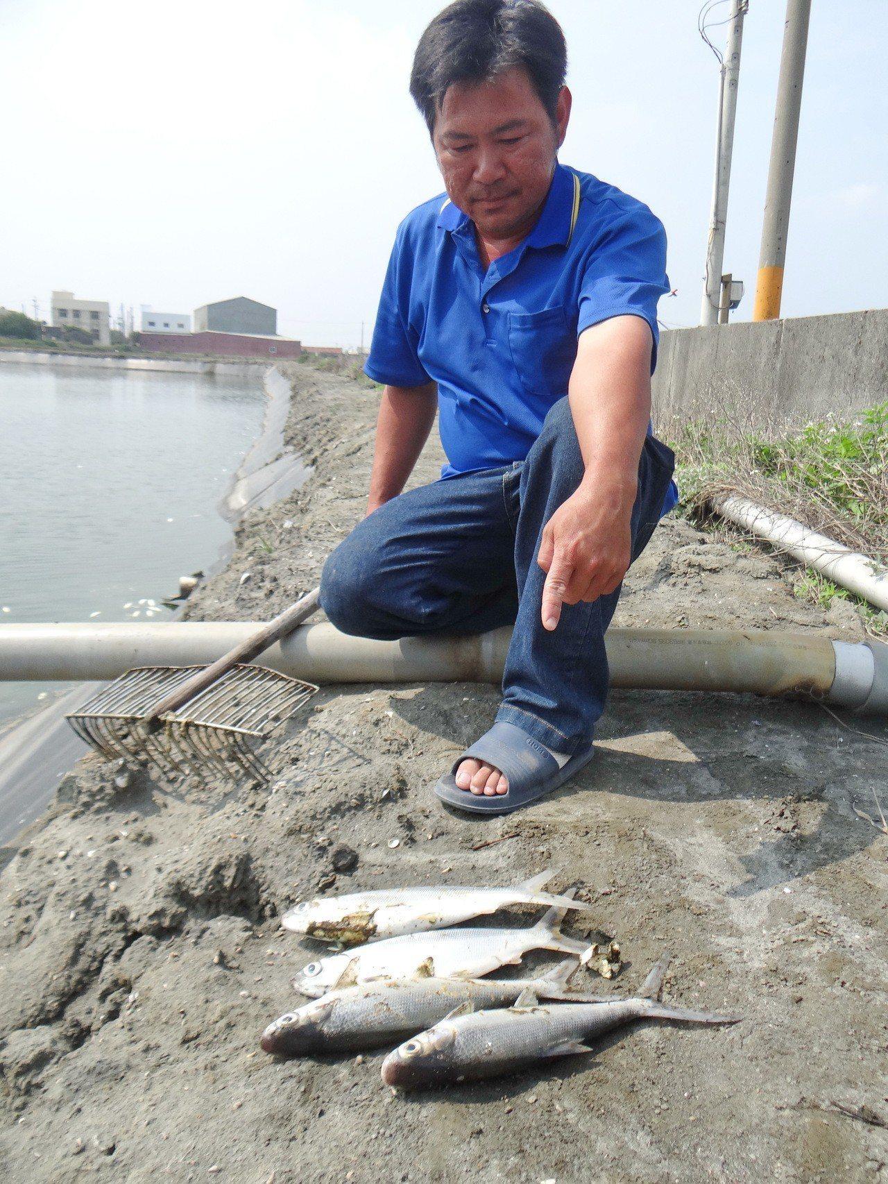 六輕氣爆造成鄰近魚塭不少養殖魚被嚇死,今早陸續浮出水面,業者撈起死魚深感無奈。記...