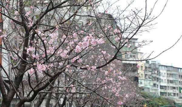 新北市土城貨饒里公館溝兩旁種植超過60棵櫻花樹。圖/新北市政府民政局提供