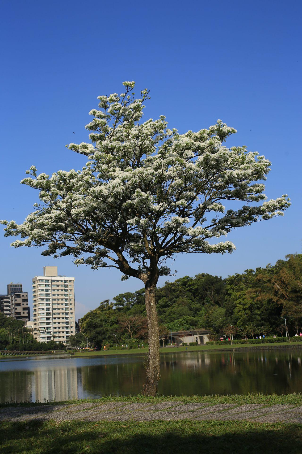 公園內的流蘇枝頭長出花苞,陸續開花,形成數十朵花序,花期集中且散發香氣,每年4月...