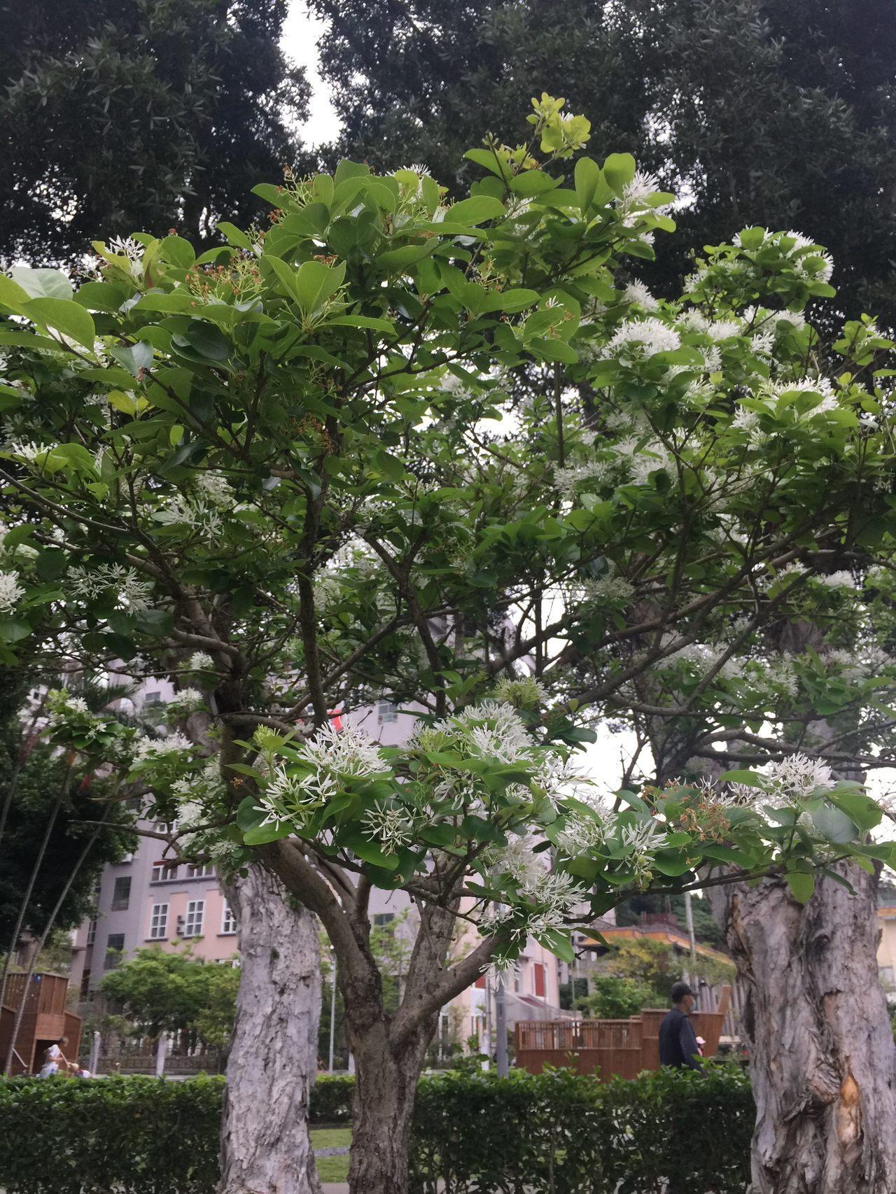 流蘇白色小花4片花瓣呈現十字型。圖/台北市政府公園處提供
