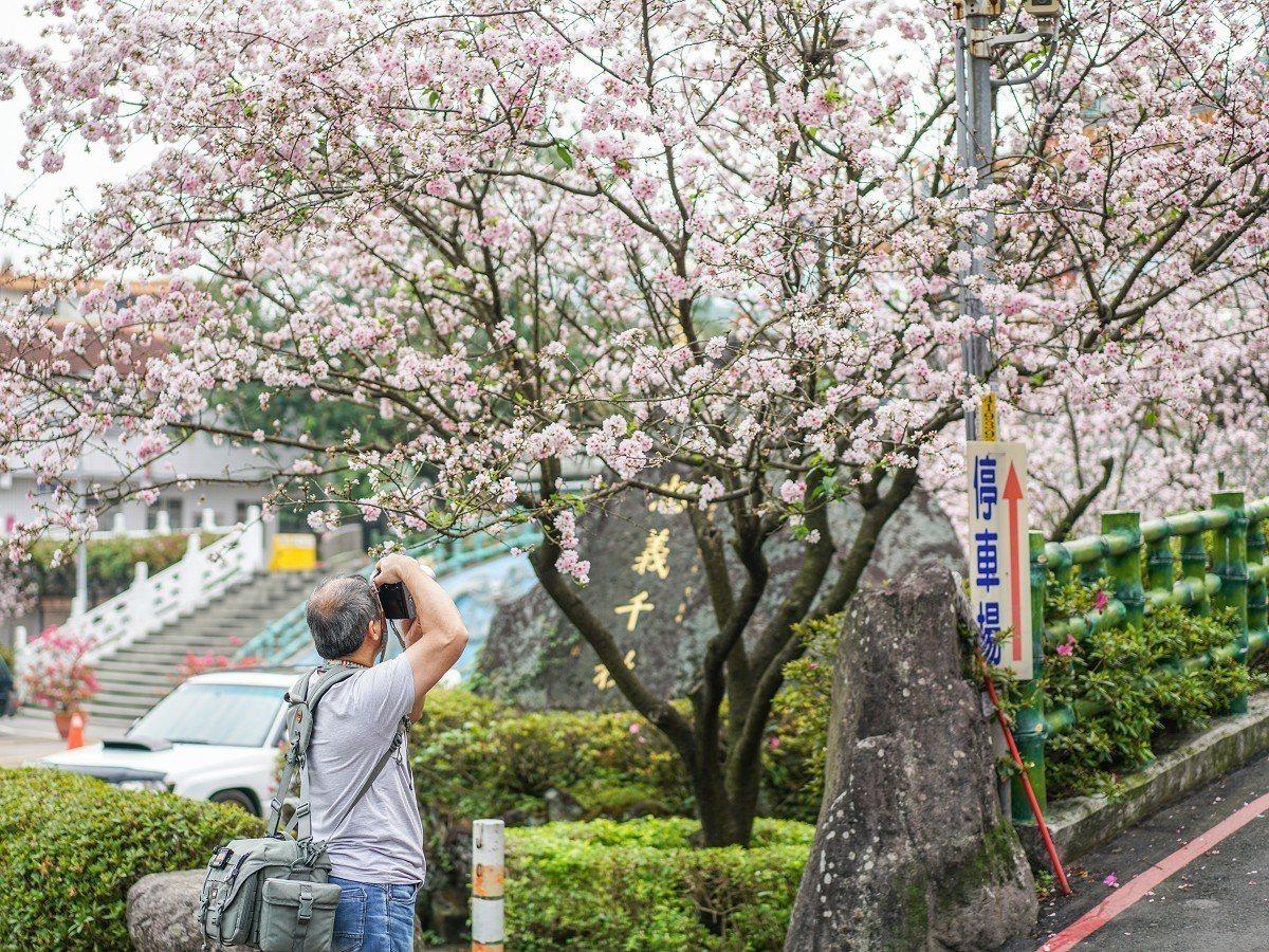 淡水無極天元宮吉野櫻花期開跑,不少民眾從外地來特別要看已經開花的吉野櫻。 圖/紅...