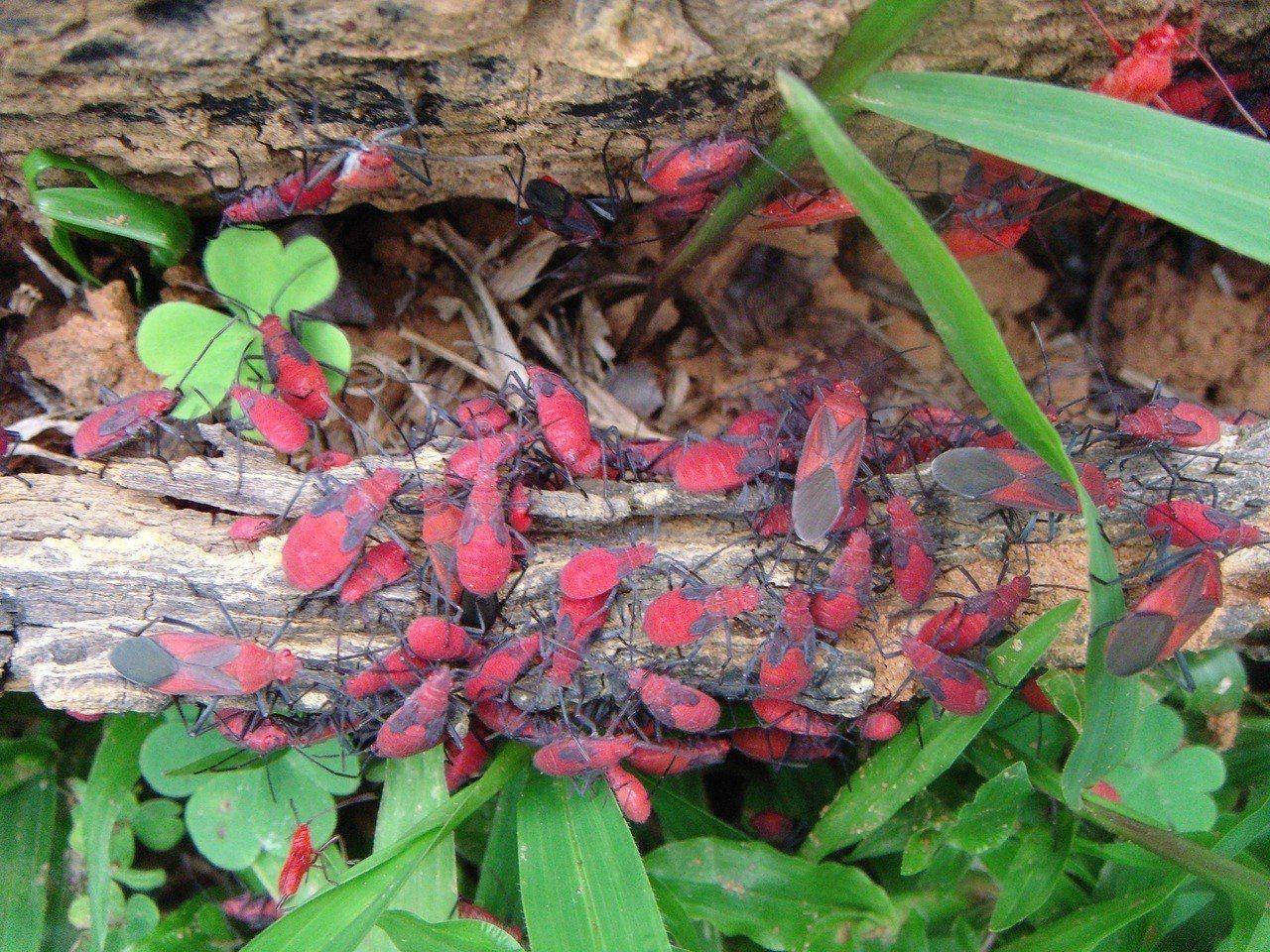 紅姬緣椿象又名紅椿象或臭屁蟲,體色為紅褐色,成蟲背部小盾板周邊有黑色的V字型斑紋...