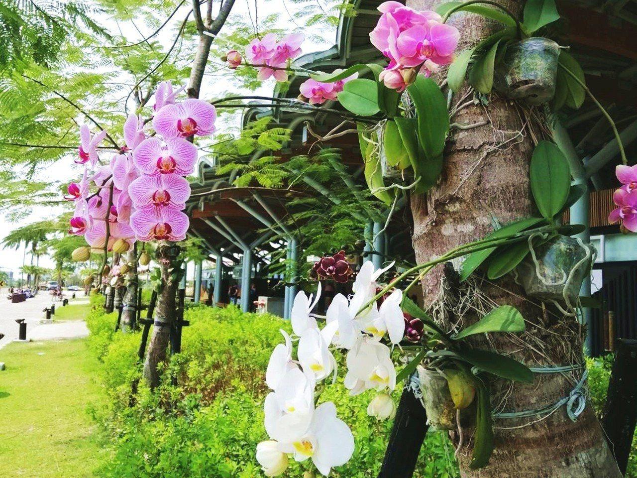 台東火車站最近增加新亮點,車站周邊路樹、辦公室前庭院樹幹上多了色彩繽紛的蝴蝶蘭,...