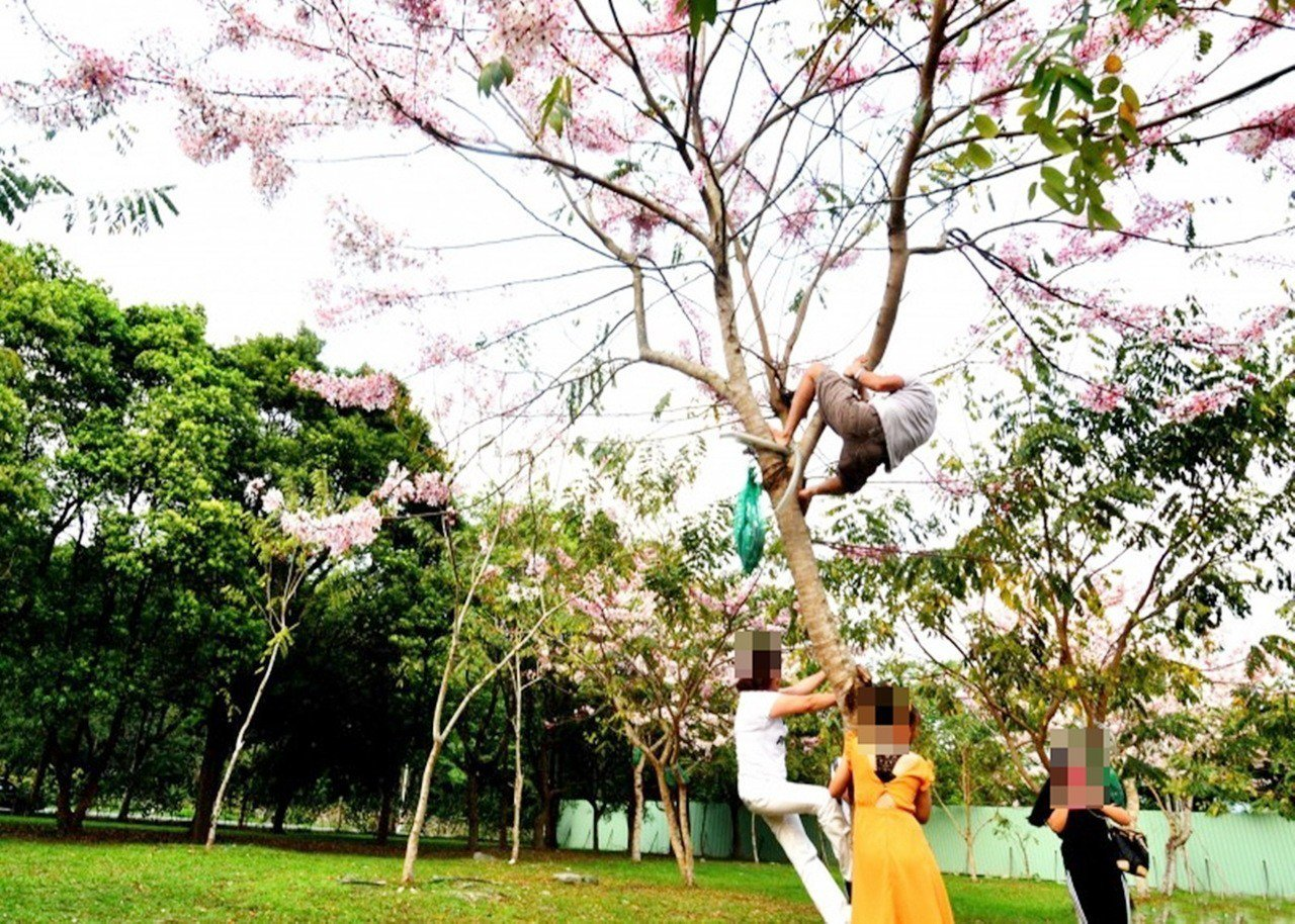 鹿鳴酒店前種了30株花旗木最近盛開,日前卻有遊客入園賞花竟學猴子爬上樹,拉扯樹枝...