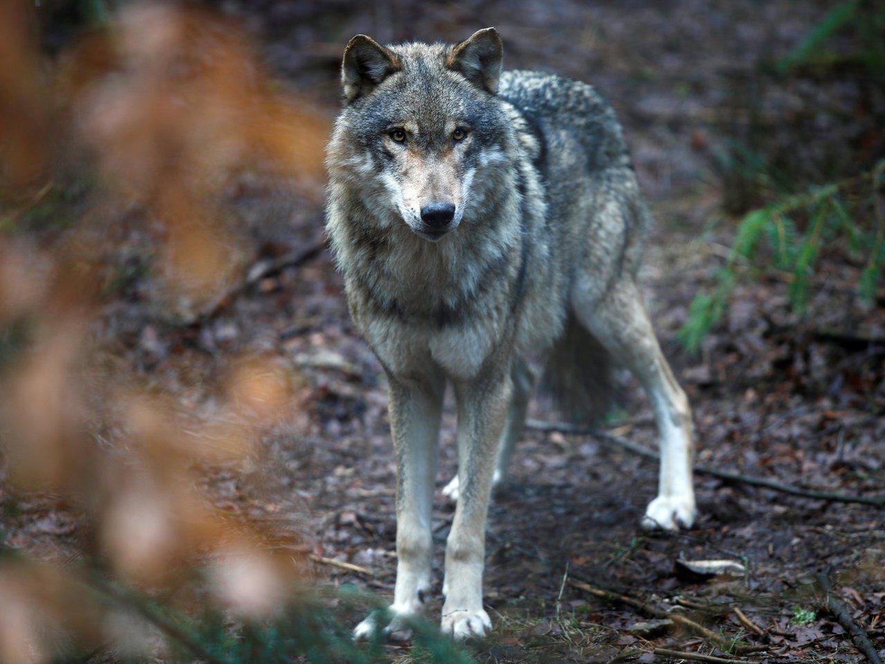德國紹爾夫海德野生動物園的一隻狼。路透