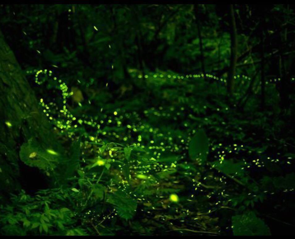 經過峨眉鄉七星村當地居民努力復育水源及生態環境,近年來螢火蟲數量逐年增加,且吸引...